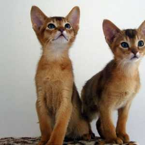 Abyssinian. Photo Afro Aphrodite