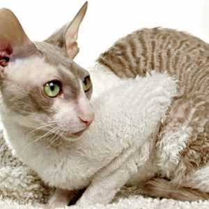 Curly Cornish Rex cat