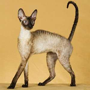 Mačka Cornish Rex, Cornish Rex cat znak